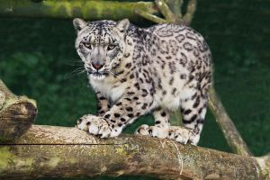 Snow Leopard 3 by rosswillett