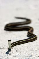 Ribbon Snake by ThisWomanWanders