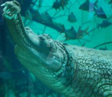 Underwater Gharial 01 by ManitouWolf