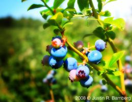 Blueberry Picking 2 by jrbamberg