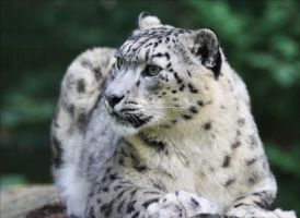 Snow Leopard X by Parides