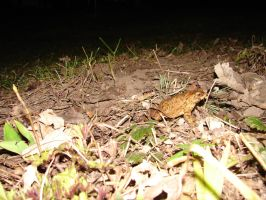 Toad in the night by Westerfarmer