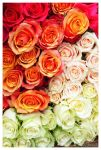 Colors of Roses by Villa-Chinchilla