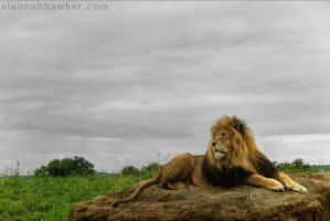 Lion 05 by Alannah-Hawker
