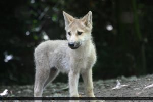 Hudson Bay Wolf 219 by Canisography