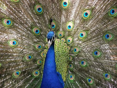 Peacock 2 by CrazyAboutMusic