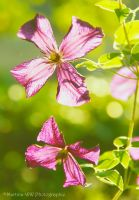 Clematis by Martina-WW