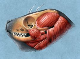 Harbor Seal Head Anatomy by xfkirsten