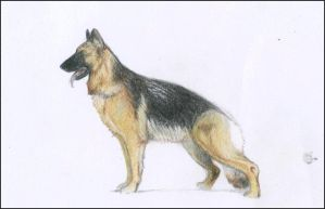 German Shepherd. by nevelyn