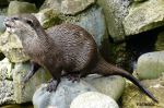 Otter by Estruda