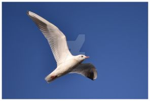 Gull by Skyrover