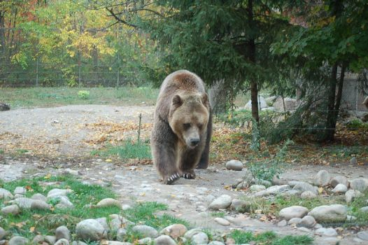 grizzly bear 0284 by stocklove