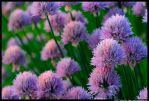 Chives by JBail