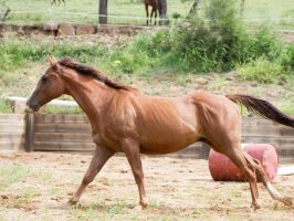 KM QH chestnut canter side view by Chunga-Stock
