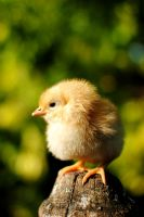 Baby Chicken by Andreimelente