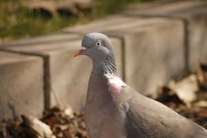 Pigeon Closeup by AndersAlmstrom
