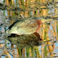 Green Heron Reflections by Kippenwolf