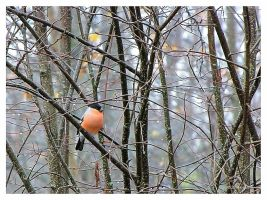 A bullfinch in October by Pajunen
