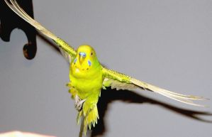 Budgie in flight 19 by greencheek