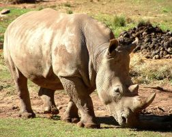 SOUTHERN WHITE RHINOCEROS by AdamsWife