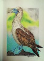 Blue-footed booby drawing by red-fox-child