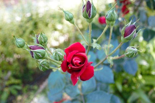 Red Roses by sevket