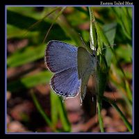 Eastern Tailed Blue - 06 by boron