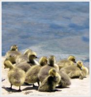 Goslings 5 by barefootphotos