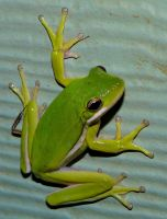 Tree Frog by duggiehoo