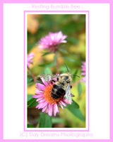 .:Resting Bumble Bee:. by DayDreamsPhotography