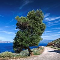 Lonely Olive Tree by fly10
