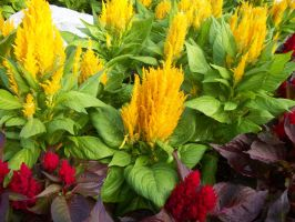 yellow and red flowers by HarvesterofPearls