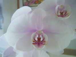 orchids times 2 by perfection-aint-me