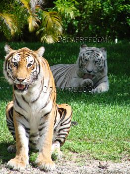 Tigers by orcafreedom1