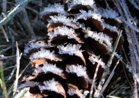 Ice crystals on a pine cone by klbryanphotography