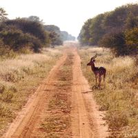 An Impala observing the Road by 4Gemsbok