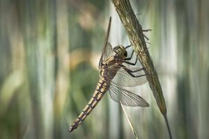 Dragonfly by MarvinDiehl