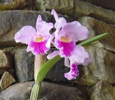 Orchid at Callaway Gardens by LadyAliceofOz
