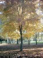 The Autumn Gold 13 by faelivrinen-stock