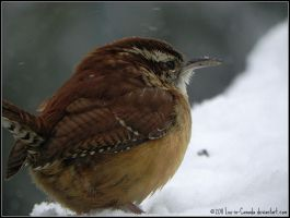 CarolinaWren by Lou-in-Canada