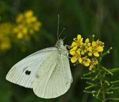 European Cabbage Butterfly by boron
