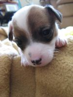 Jack Russel Puppy by mehheidi