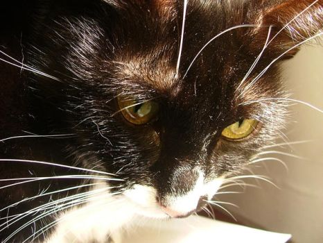 Black and white cat by cybern