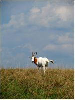 Scimitar-horned Oryx by StormPetral0509