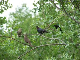 Four Cowbirds by ByronGiant