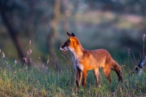 Fox In The Evening by AngelaLouwe