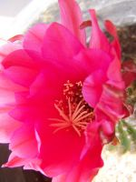 Pink Cactus Flower by theNanna