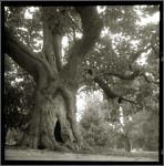 Old tree by edwardowe