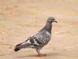 Little pigeon - kleine Taube by Nexu4