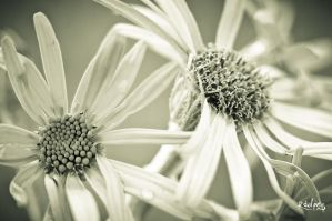 Arnica by rdalpes